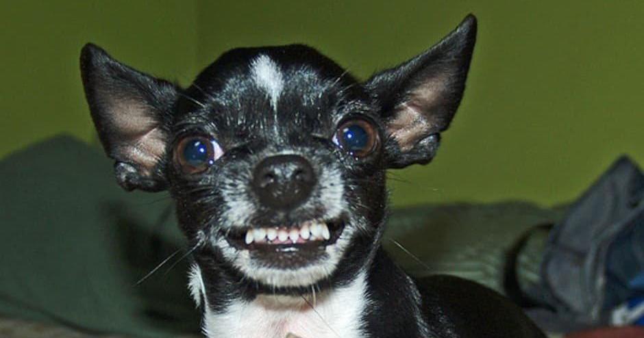 Cómo Lograr Que Tu Chihuahua Deje De Ladrar Mascotas