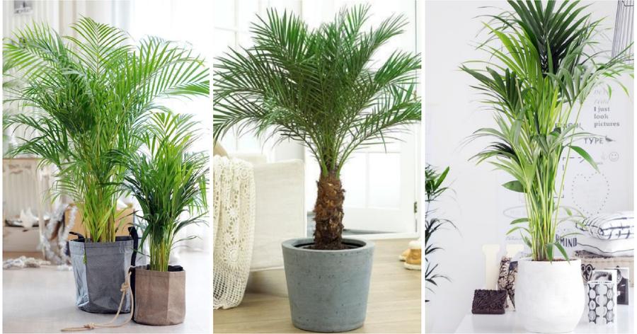 Arecas for Plantas de interior tipo palmera