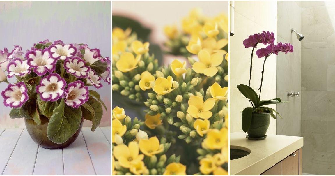 C mo cultivar calas en macetas y cuidados esenciales plantas - Como cultivar crisantemos ...