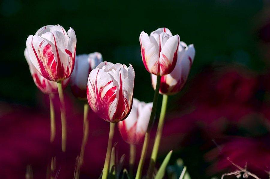 cómo cultivar tulipanes en macetas (información completa) | plantas