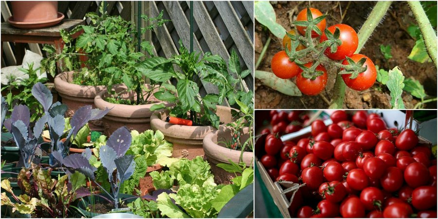 Cultiva Tomates Cherry En Tu Balcón O Ventana Plantas