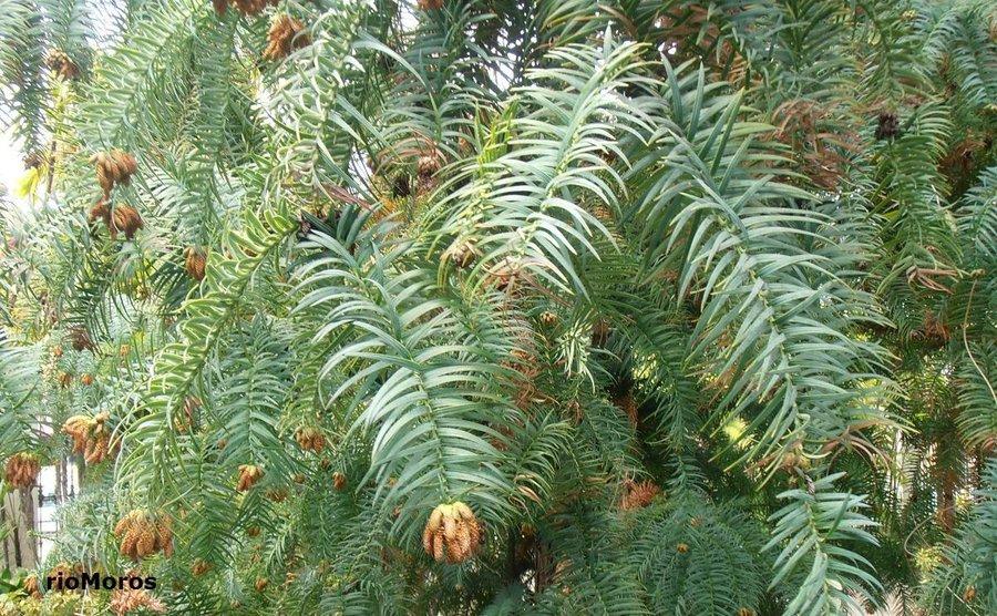 Arboles para jardines pequeos de hoja perenne cool arte y for Arboles de jardin de hoja caduca
