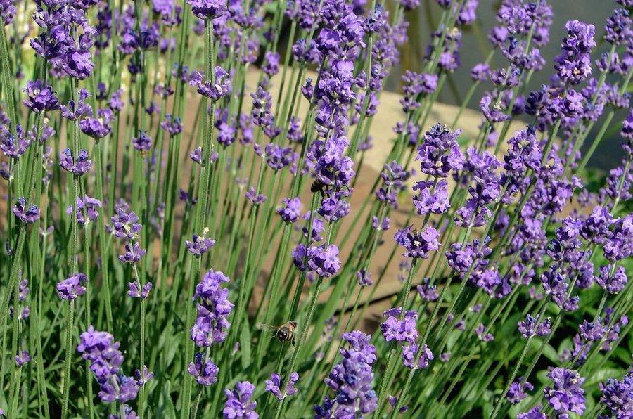 cuidados y propiedades de la lavanda plantas