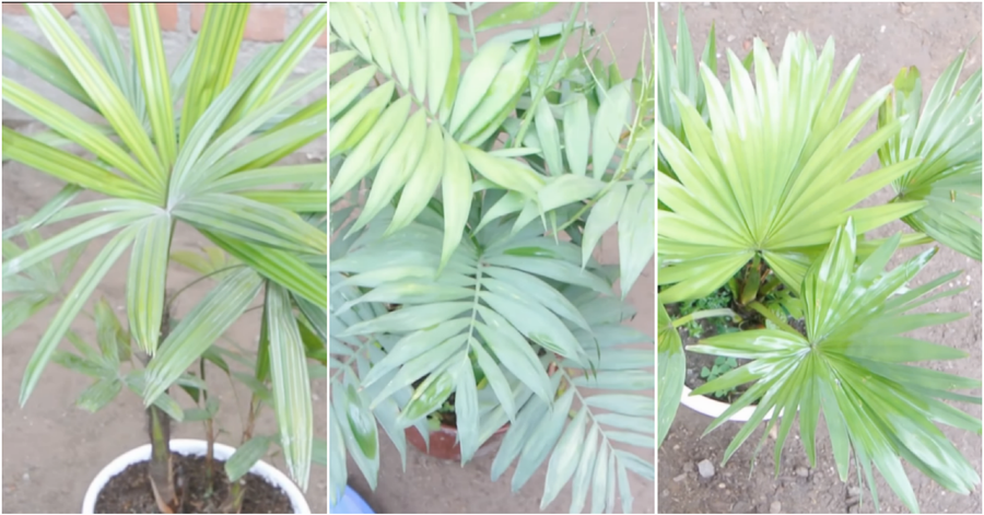 3 palmeras extraordinarias para el interior de casa plantas for Palmeras de interior